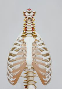 Skeletal view of the lungs